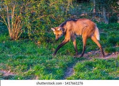Maned wolf walking around in grassy forest