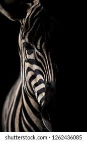Maneless zebra portrait