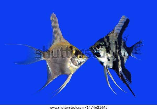 Manfish Isolated On Blue Background Stock Photo Edit Now 1474621643
