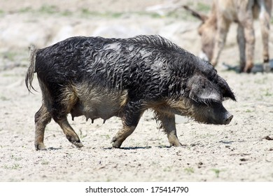 Mangalitsa female pig on farm