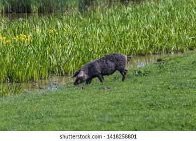 Mangalitsa pig in nature near water.