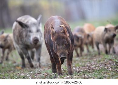 Mangalitsa pigs running on meadow in forest. Traditional organic livestock breeding