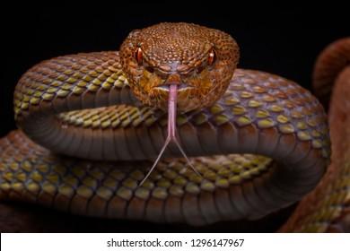 Manggrove Pit Viper (Trimeresurus purpureomaculatus), Venomous Snake, Viper Snake
