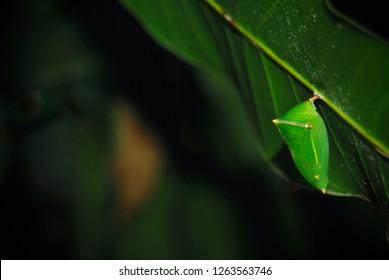 Mango Baron Pupa ,Butterfly pupa