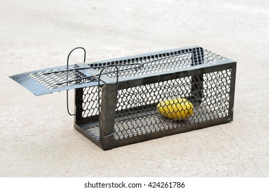 Mango in cage mousetrap animal cage