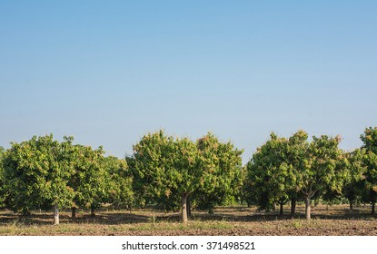 Mango field,mango farm  blue sky background.Agricultural concept.