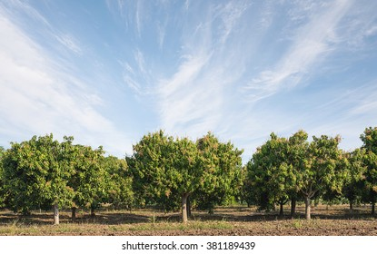 Mango field,mango farm  blue sky background ,retouching by adding sky background.Agricultural concept.