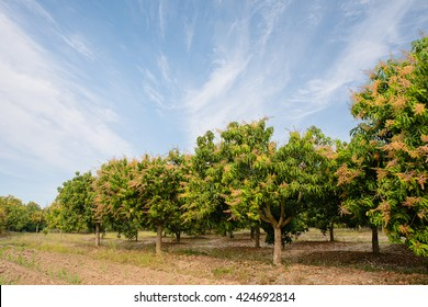 Mango field,mango farm with blue sky background.Agricultural concept.