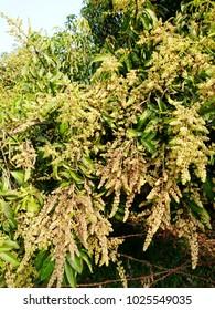 mango flowering on mango tree