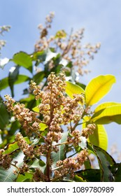 Mango flowers on tree in garden. Selective focus