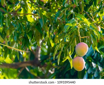 Mango fruit hanging from the tree. Production of fruits increase in Cuba as the incipient market economy drives prices up.