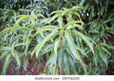 Mango fruit and leaves at Mango tree in a rural area in Brazil.