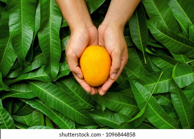 Mango fruit on cupped hand of farmer with green leaf background. organic product of fruit harvest with care and direct delivery to customer by heart.