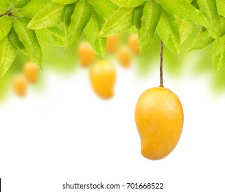 Mango fruit on tree isolated white background