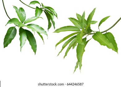 Mango Green Leaves and Branches Isolated on White Background
