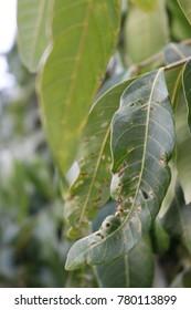 Mango green tree