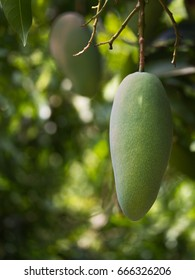 The Mango Hanging in The Garden