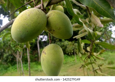Mango is healthy and testy fruits