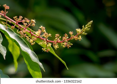Mango inflorescences on a green background