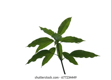 Mango leaf isolate on white background.
