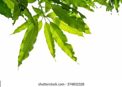Mango leaf on white sky background