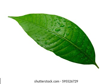 Mango leaf with water drop isolated on white with clipping path