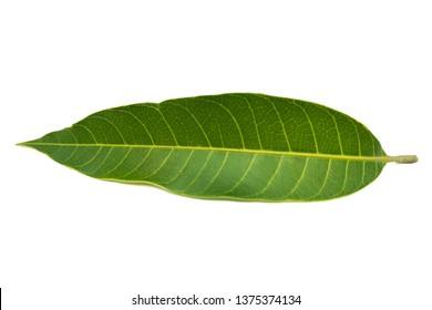 Mango leave isolated on white background, Mango Leaf