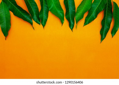 Mango leaves on colorful paper background,concept summer background and product design.