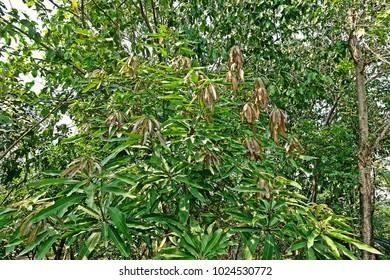 mango new germinated leaves, immature leaves
