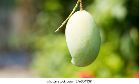 mango on tree . selective focus