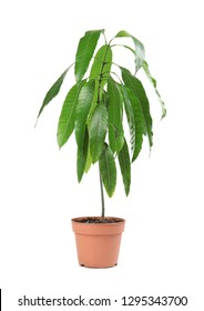 Mango plant with green leaves in flowerpot on white background