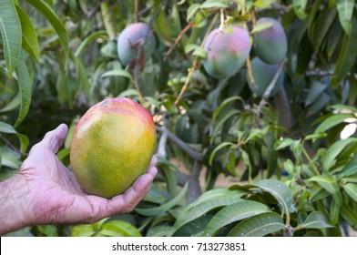 Mango plantation with farmer