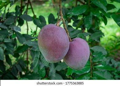 Mango Tommy Atkins photograph taken of two mangoes attached to the tree