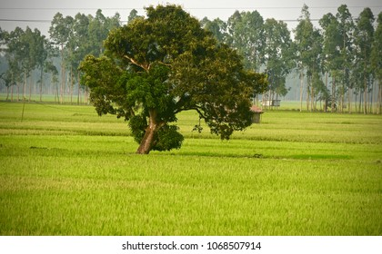 A mango tree around a green paddy field isolated unique natural photograph