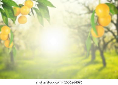 Mango tree and farm Blur background