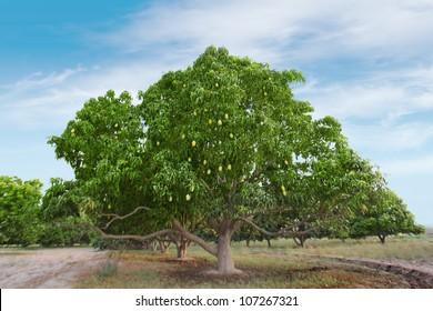 Mango Tree Full of Mangoes in Garden