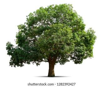 mango tree isolate on white background