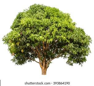 mango tree (tree isolate on white background)