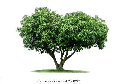 mango tree isolated on white