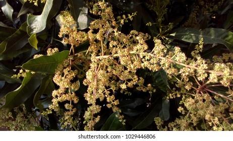 mango tree leaves flower