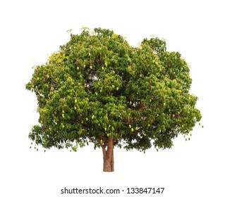 Mango tree (Mangifera indica), tropical tree in the northeast of Thailand isolated on white background