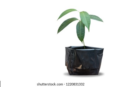 Mango tree nursed with seeds in black pots, isolated on white background
