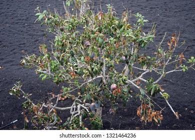 Mango tree on the volcano black soil