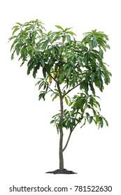 Mango tree, Small mango tree, Mango seedlings isolated on white background