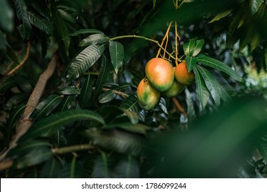 Mango trees with close up view of big mangos on sunset in Bani, Dominican Republic