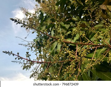 Mango trees that are affected.