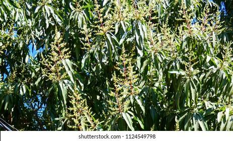 Mangoe flowering in spring
