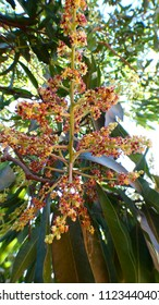 Mangoe flowers will soon give us delicious fruits.