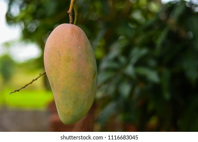 Mangoes are bred to destroy the bastard and rotten by the flycatcher.