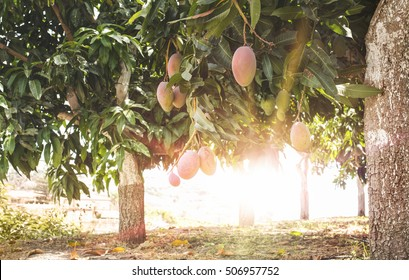 Mangoes on branch and sunrays